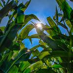 Sun shining thru stalks of corn